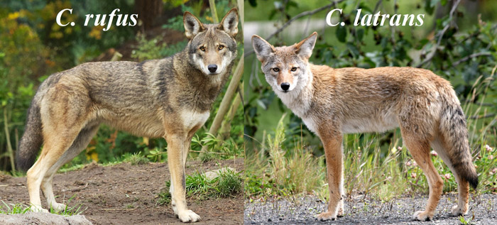 Canis_rufus_&_Canis_latrans