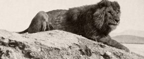 1893-barbary-lion-by-pease
