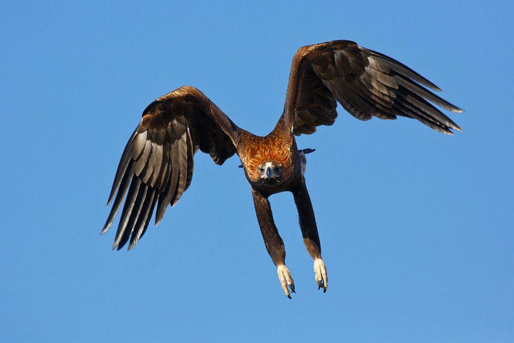 Wedge-tailed eagle (Australia)