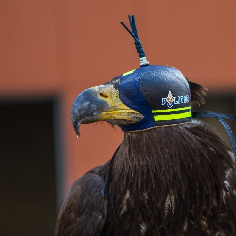 Drone-attacking bird from the Dutch police