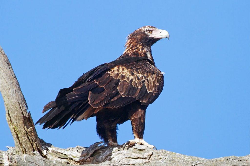 Wedge-tailed eagle hawk